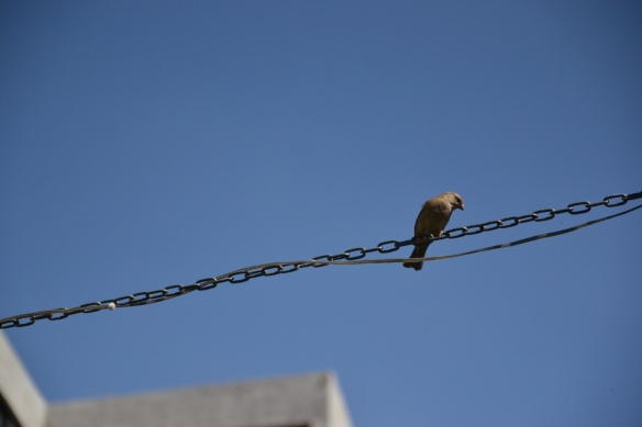 Little bird Johannesburg