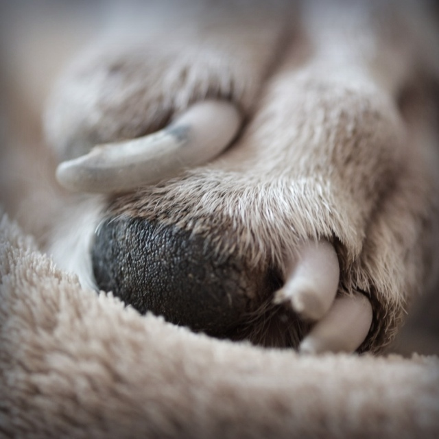 White boxer dog paw